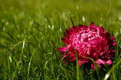 piękny asteru fiołek Fotografia Royalty Free