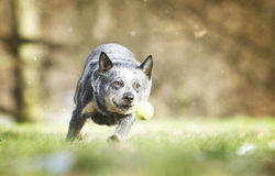 Piękny australijski bydło jest prześladowanym szczeniaka bieg w wiosny backgrou Obraz Royalty Free