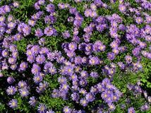 piękny błękit aster bloom zdjęcie stock