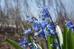 Piękny błękit kwitnie w wczesnej wiośnie Zdjęcia Royalty Free