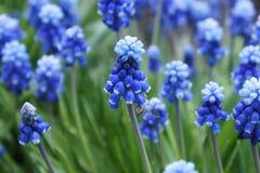 Piękny błękit kwitnie w wczesnej wiośnie Zdjęcia Stock