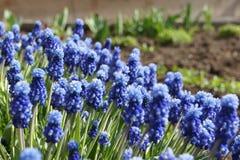 Piękny błękit kwitnie w wczesnej wiośnie Fotografia Stock