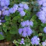Piękny błękitnawy fiołkowy Ageratum w kwiatu łóżku Fotografia Stock