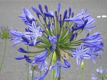 Piękny błękitny agapanthus kwiat - zbliżenie Obraz Stock