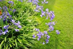 Piękny błękitny Alium, ogródów kwiaty Obrazy Stock