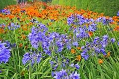 Piękny błękitny Alium, ogródów kwiaty Obraz Stock