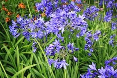 Piękny błękitny Alium, ogródów kwiaty Obraz Royalty Free