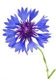 piękny błękitny cornflower Obraz Royalty Free