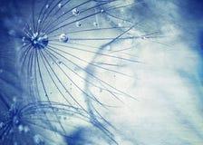 Piękny błękitny dandelion tło Zdjęcia Stock