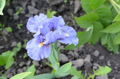 Piękny błękitny irys Fotografia Stock