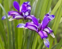 Piękny błękitny irys Lato kwiat Zdjęcia Stock