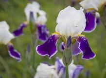 Piękny błękitny irys Lato kwiat Zdjęcia Royalty Free