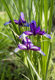 Piękny błękitny irys Lato kwiat Fotografia Stock