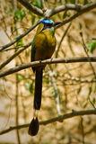 Piękny błękitny koronowany motmot ptak obrazy stock