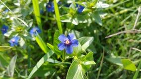 Piękny Błękitny kwiat w zielonych polach fotografia stock