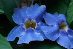 Piękny błękitny kwiat z podeszczowymi kroplami Fotografia Royalty Free