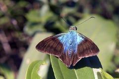 Piękny błękitny motyl na zielonym tle Atlantyk Obraz Royalty Free