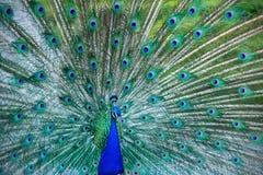 Piękny błękitny paw w jawnym parku w Madryt Obrazy Stock