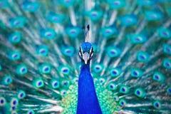Piękny błękitny paw w jawnym parku w Madryt Zdjęcie Stock