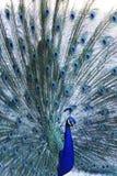Piękny błękitny paw w jawnym parku w Madryt Zdjęcie Royalty Free