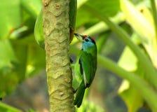 Piękny błękitny throated barbiet zdjęcie stock