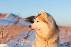 Piękny, baczny i bezpłatny siberian husky psa obsiadanie na wzgórzu w więdnącej trawie przy zmierzchem, zdjęcie stock