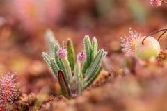 Piękny bagno rozmarynów dorośnięcie w bagnie w ranek rosie Zdjęcia Stock