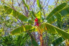 Piękny bananowy drzewo na słonecznym dniu z niebieskim niebem w tropikalnym Roatan fotografia stock