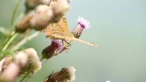 Piękny Barwiony Motyli wizerunek w natura Zbierackim nektarze od kwiatu zbiory