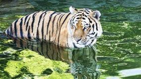 Piękny Bengalia tygrys ostrożny krzyżować rzekę fotografia stock