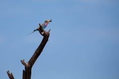 Piękny bez breasted rolkowego obsiadanie na żerdzi polowaniu dla i Fotografia Royalty Free
