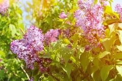 Piękny bez kwitnie z światłem słonecznym Obrazy Royalty Free