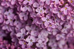 Piękny bez na drewnianym tle Bez kwitnie na białym tle Zdjęcia Stock