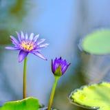 piękny bez waterlily, lotosowy kwiat w błękitne wody lub Zdjęcie Royalty Free