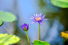 Piękny bez waterlily, lotosowy kwiat w błękitne wody lub, zbliżenie Zdjęcia Stock
