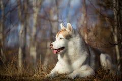 Piękny, bezpłatny i prideful Syberyjskiego husky pies z tonque wiszącym za lying on the beach w lesie w opóźnionej jesieni, zdjęcie stock