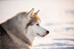 Piękny, bezpłatny i szczęśliwy siberian husky psa obsiadanie na śniegu w zima lesie przy zmierzchem, obraz stock