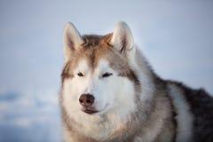 Piękny, bezpłatny i uroczy siberian husky psa obsiadanie na śniegu w zima lesie przy zmierzchem, zdjęcie royalty free