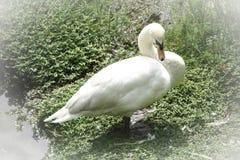 Piękny Biały łabędź Zdjęcia Stock