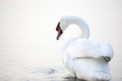 Piękny biały łabędź unosić się zdjęcie royalty free