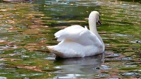 Piękny biały łabędź w parku fotografia stock