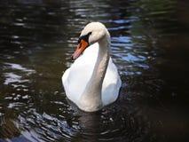 Piękny biały łabędź w stawie odbicie piękna woda zdjęcia stock