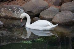 Piękny biały łabędź w stawie z kamieniami Zdjęcia Royalty Free