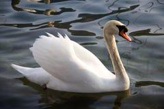 Piękny biały łabędź z kroplą woda przy belfrem Unosić się i obraz royalty free