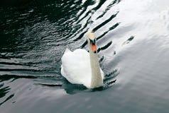 Piękny biały łabędzi dopłynięcie w stawie obrazy royalty free