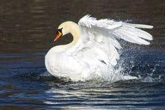 Piękny biały łabędzi kąpanie i bawić się w jeziornej stawowej rzece Zdjęcia Stock