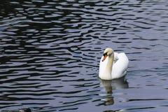 Piękny biały łabędzi pływanie w jeziorze Fotografia Stock
