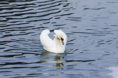 Piękny biały łabędzi pływanie w jeziorze Zdjęcia Royalty Free