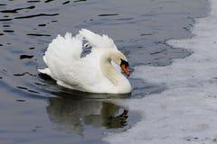 Piękny biały łabędzi pływanie w jeziorze Zdjęcie Royalty Free