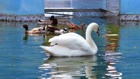 Piękny biały łabędzi pływanie w parku obraz stock